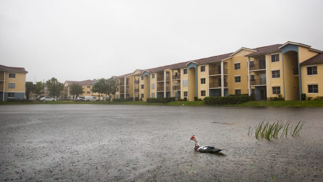 A duck swims by as  water levels rise in ponds near the Tuscan Isle Apartments on Sunday, September 10, 2017 as winds begin to pick up from Hurricane Irma.