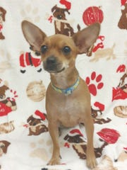 Maddie is a 2-year-old, 6-pound female Chihuahua mix.