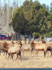 A cluster of young bull elk, like teenage boys, hung