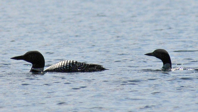 Minnesota conservation officials say there's a small-but-noticeable increase in loon deaths and the likely cause is West Nile virus