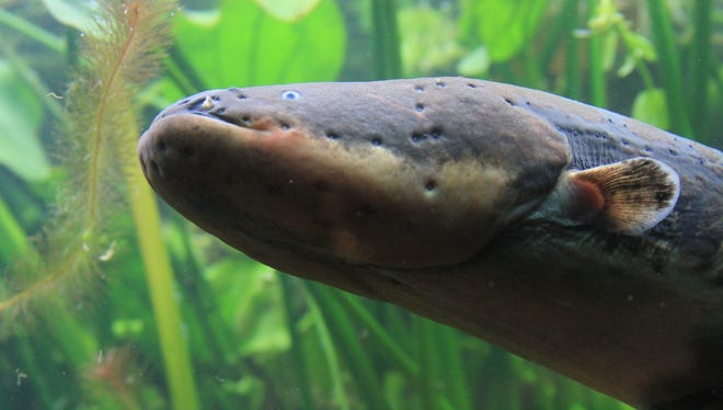 Close up of an electric eel.