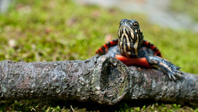 A baby eastern painted turtle