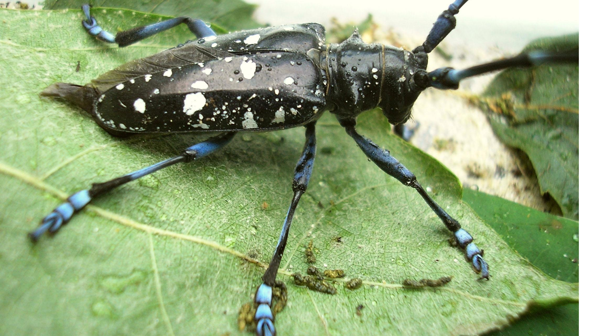 Asian longhorned beetle in massachusetts