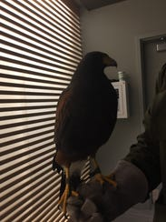 Samantha, a 4-year-old falcon, is charged with keeping