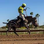 Turf Paradise ostrich, camel, zebra races