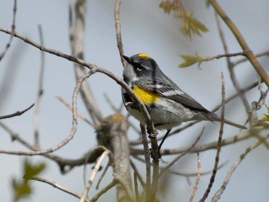 -yellow-rumped warbler-myrtle male.jpg_20140513.jpg