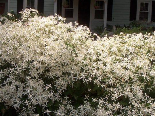 Clematisterniflora.jpg