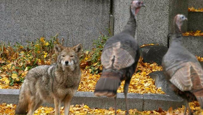 In this 2016 photo provided by Josh Harrison, a coyote stares down wild turkeys in Mount Auburn Cemetery in Cambridge, Mass. Coyotes have lived in the East since the 1930s, and recent genetic tests have shown they are actually a mixture of coyote, wolf and dog. Scientists say they might be getting genetically closer to wolves, helping them become better predators and thrive in urban areas. (Josh Harrison via AP)