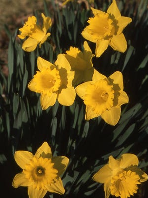 Clusters of large trumpet daffodils begin with fall planting of bulbs. Daffodils should outlive the person who plants them. Richard Poffenbaugh Photo.