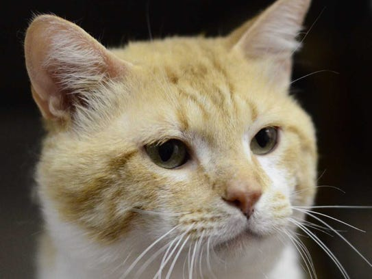 Flounder - Male domestic short hair, adult. Intake