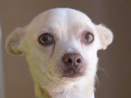 Archie - Male Chihuahua, adult. Intake date: 6/15/2017
