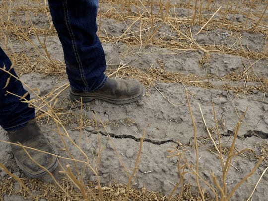 """That's just an indicator how dry it is,"" Nathan Keane says of cracks that have appeared in his mustard field."