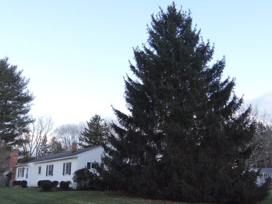 Countless evergreens in Penfield, including this fir