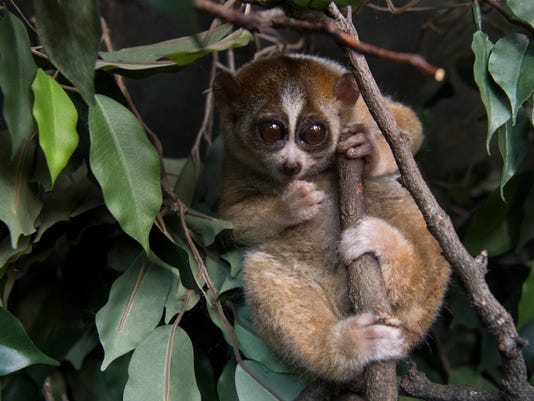 636558584101170411--Julie-Larsen-Maher-7817-Slow-Loris-JUN-BZ-02-22-18.JPG