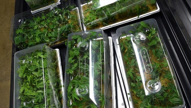 Medical marijuana seedlings at the Silver State Relief cultivation center in Sparks, Nev.