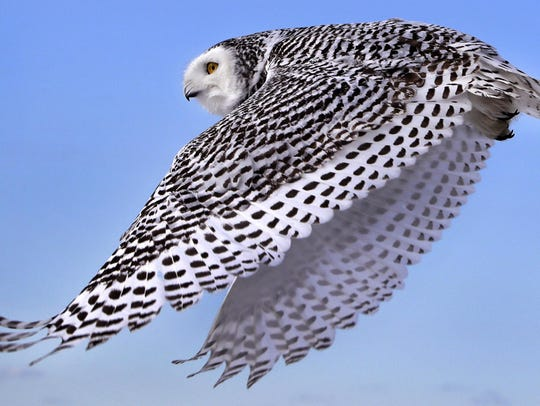 A snowy owl flies away after being released along the
