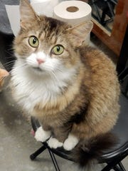 Maya is a 2-year-old, spayed-female, long-haired, brown