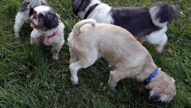 Shih tzus and shih tzu mixes play in the yard of Rhonda Singstock of Schofield, Sunday, September 28, 2014.
