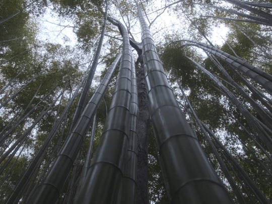 Shoots soar at Arashiyama's Bamboo Grove, a top sight
