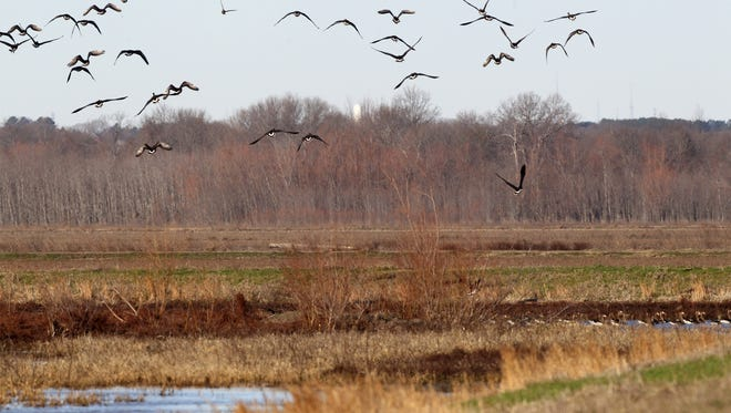 Ducks on  Frog Bayou WMA, where the AGFC added 607 acres, nearly doubling the waterfowl hunting area's size.