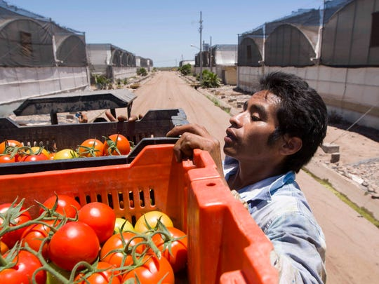 Nearly 70 percent of tomatoes sold in the U.S in winter come from Mexico, according to the Fresh Produce Association of the Americas.