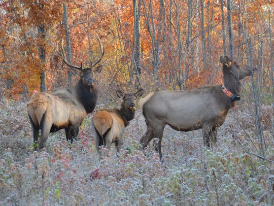 A bull, cow and calf elk browse through woods near