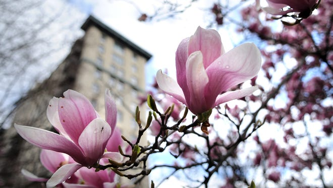A saucer magnolia blooms Tuesday, March 15, 2011 in Krutch Park. The the hybrid purple-blossomed tree also goes by the name of tulip tree and Japanese magnolia.