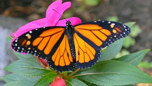 The beautiful monarch butterfly is facing declining numbers.
