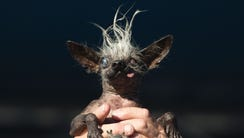 Sweepee Rambo, a Chinese Crested mix, is held up by