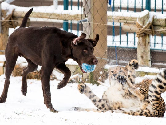 Moose and Donni play in the snow in the big cat yard