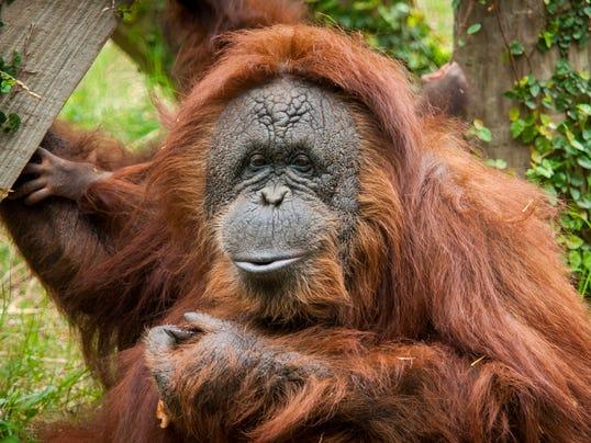 Orangutan-0138-5425(1)