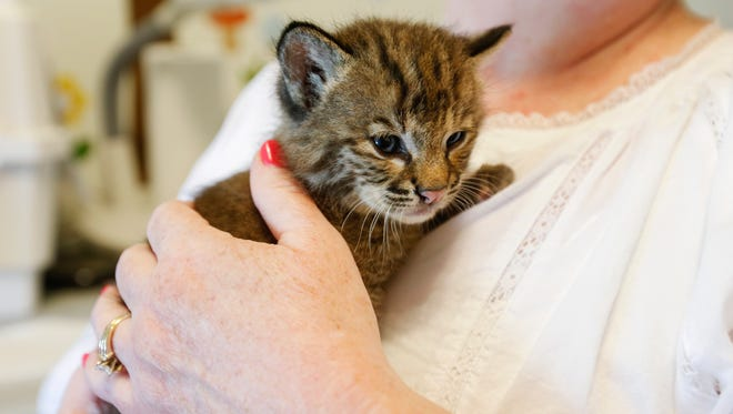 Georgia Lafita holds Lamia, a three-week-old female bobcat, after feeding her from a bottle on Tuesday, May 30, 2017. Lamia bit the person who found her and animal control euthanized her.