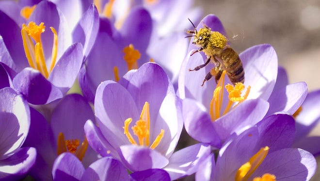 A bee covered in pollen crawls out of a crocus,