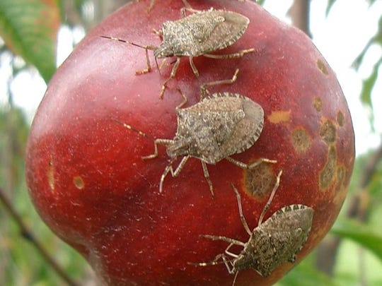 Provided: Stink bugs on an apple.