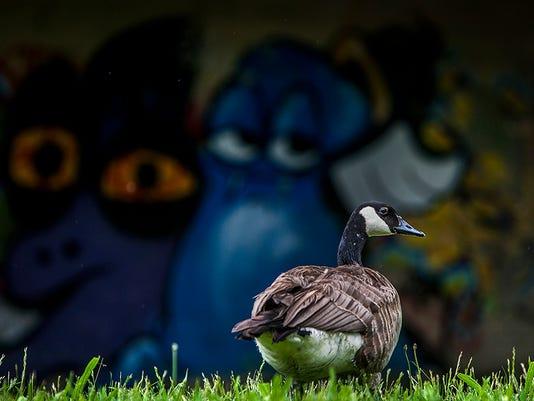 MNI 05020 geese120.JPG