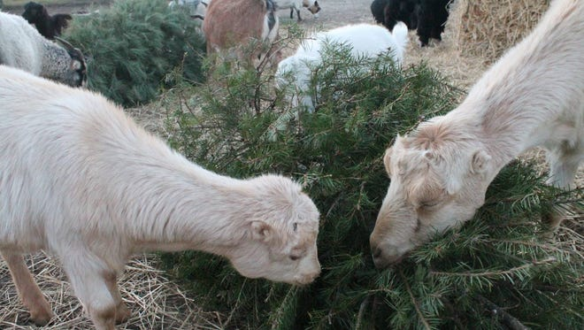 The lights and ornaments are back in storage … now what to do with that beautiful tree. Don't take it to the curb, take it to Pampered Pup Luxury Pet Resort at 2709 Mays Landing Road in Millville instead. Donated trees will be shared with the goats. Trees may be dropped off any day from 9 a.m. to 5 p.m. Limited local pick up is also available. For information, call (856) 327-3880.
