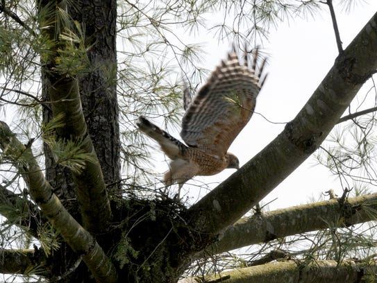 One of a pair of red-shouldered hawks takes off from