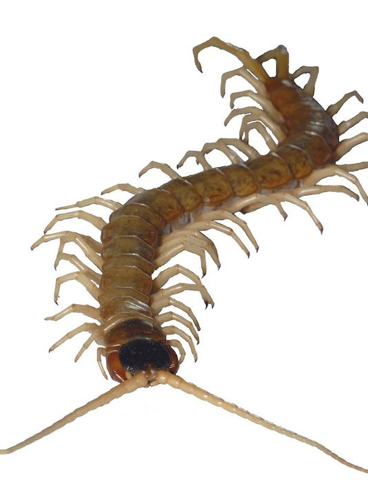 Giant Desert Centipede enters writer's home