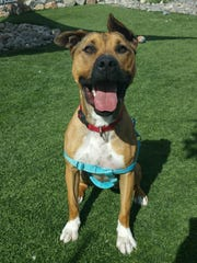 Pepsi is a good boy and knows he has addiction issues: he's addicted to tennis balls and exercise. He is very active and just wants to get into a home that enables him to get lots of tennis ball time and long walks. Pepsi is a 3-year-old Akita mix, and he needs an alpha owner in his life — is this you?