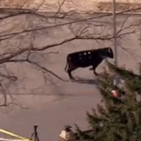 Runaway cow leads police on wild chase in NYC