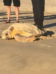 A loggerhead sea turtle laid eggs on Fenwick Island's beach on Sunday, July 8, 2018. Courtesy of MERR Institute.