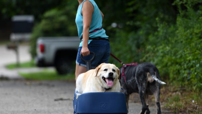 """SPENCER - Maria Korny, owner of Happy Wagging Tails dog walking service, takes Lulu, 7, and Dylan, 9, for a stroll and a roll near Smithville Road on Tuesday. The dogs belong to Judy Leary.  Dylan, 9, a yellow Lab, has cancer and """"loves to be outside"""" so has a modified wagon.  [T&G Staff/Christine Peterson]"""