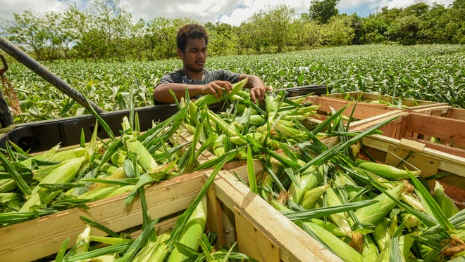 Helper Make Nuos, 20, sorts ears of corn just harvested off their stalks in a Dededo cornfield, managed by local farmer Ernie Wusstig, on March 10, 2017. Wusstig farms public land he has been leasing under the Chamorro Land Trust program.