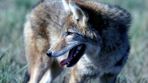 MDC has updated regulations regarding the use of thermal imaging and night vision equipment to hunt coyotes and control feral hogs on private property.