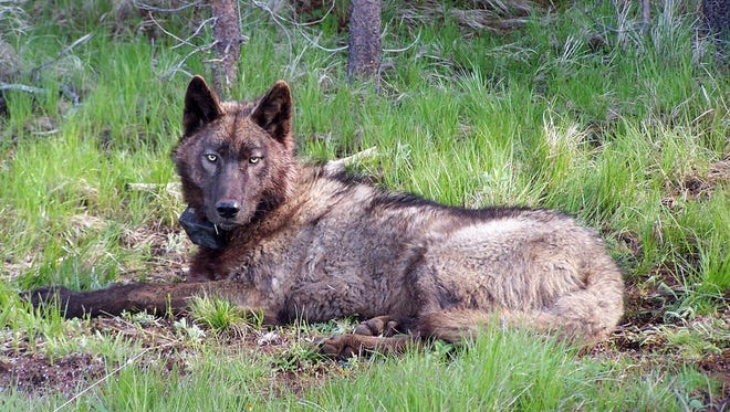 The wolf OR-25 was found dead near Klamath Falls in October.