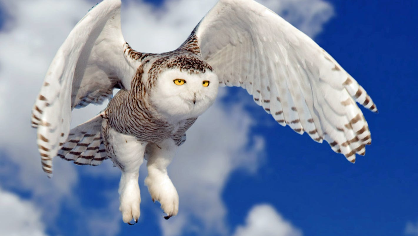 Snowy owls spotted in higher numbers in Iowa this year