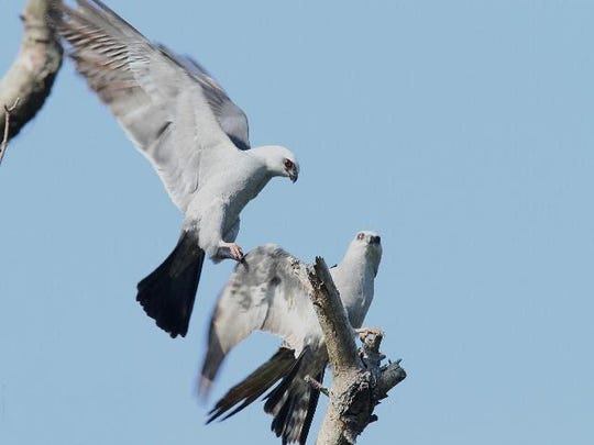A Mississippi kite was seen at the Gifford House at Cary Arboretum in May.