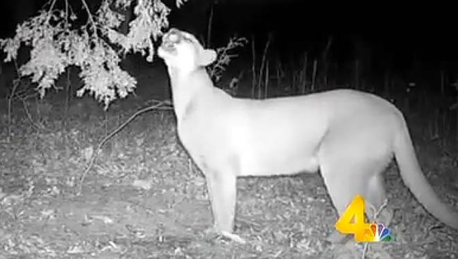 A video was captured of a mountain lion in Tennesse about 100 miles from the Mississippi state line.