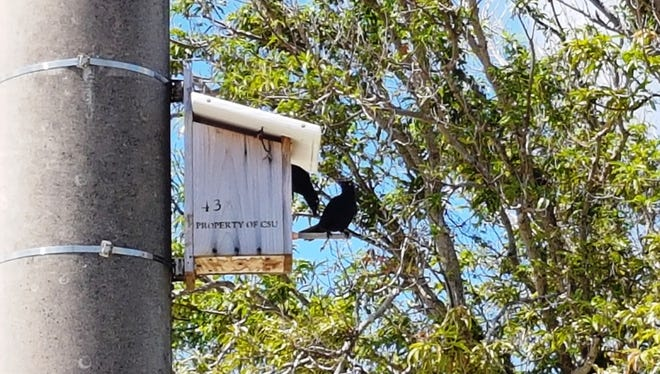 A Micronesian starling perches high up in a next box on a wide-diameter utility pole at Andersen Air Force Base.