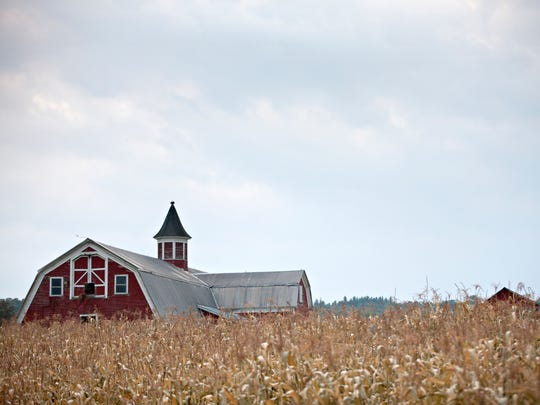 A barn in South Wheelock is seen over late corn on Saturday, Sept. 20, 2014.